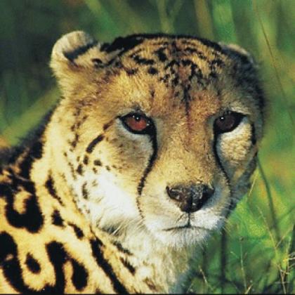 publius-huldah_cheetah2