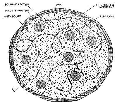 mycoplasma  weaponized or not
